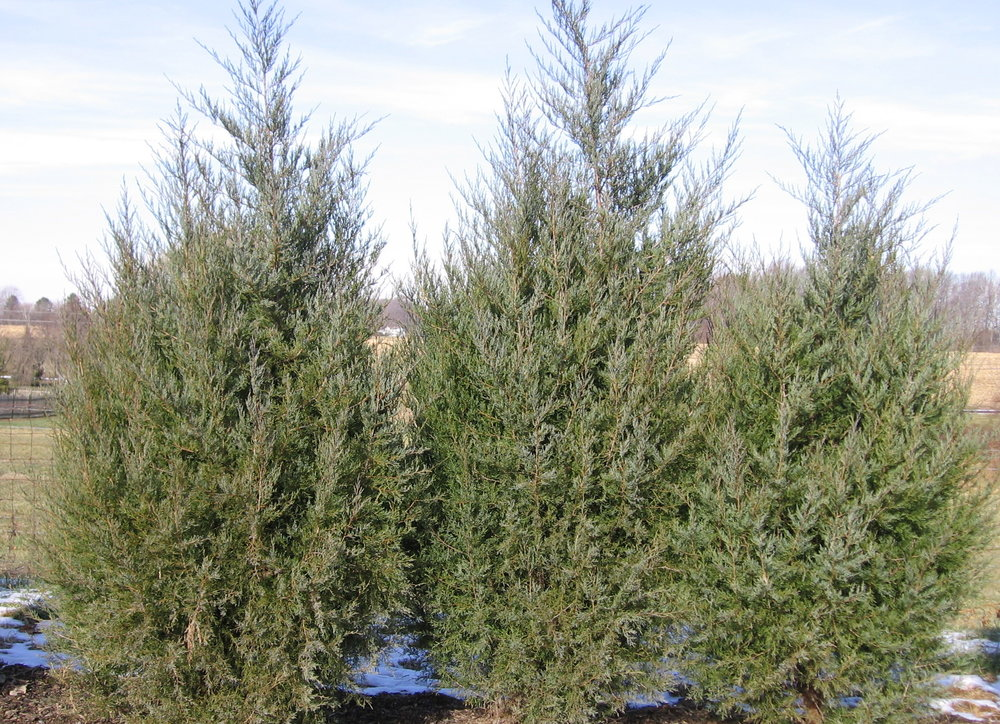 Eastern Red Cedar group.jpg