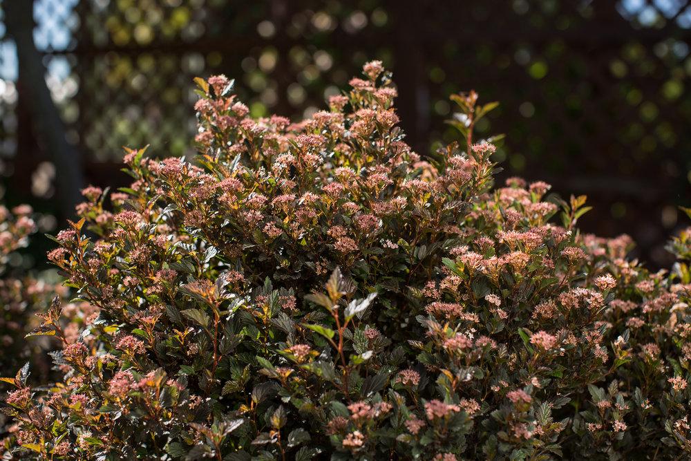 Physocarpus Little Devil.jpg