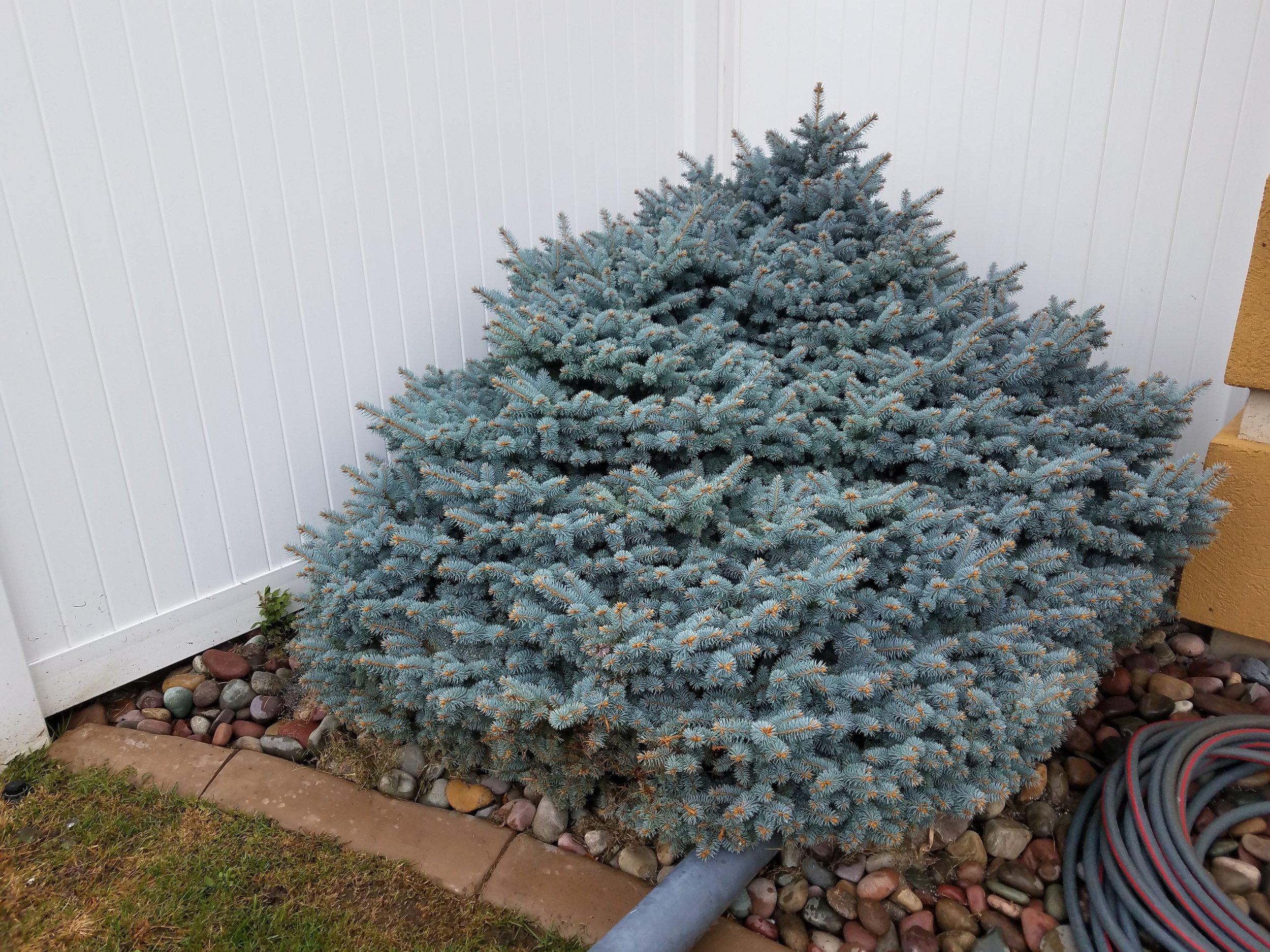 Picea Spruce Handy Andys Nursery