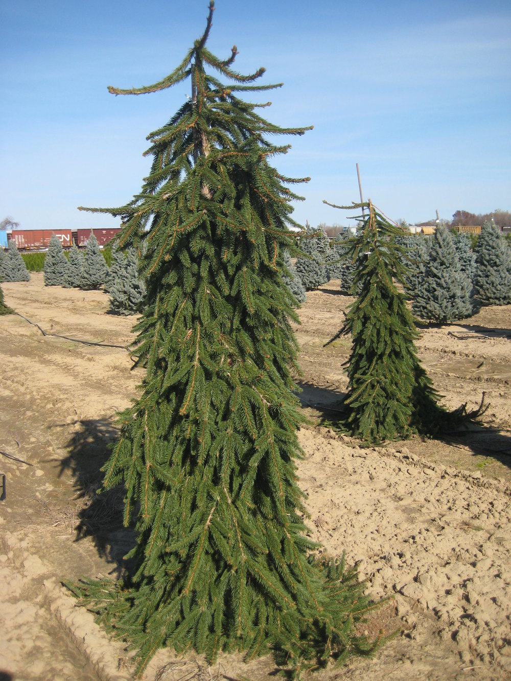 picea abies pendula Weeping Norway.jpg