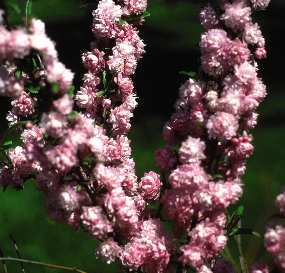 Prunus plum shrub handy andys nursery pink flowering almond mightylinksfo