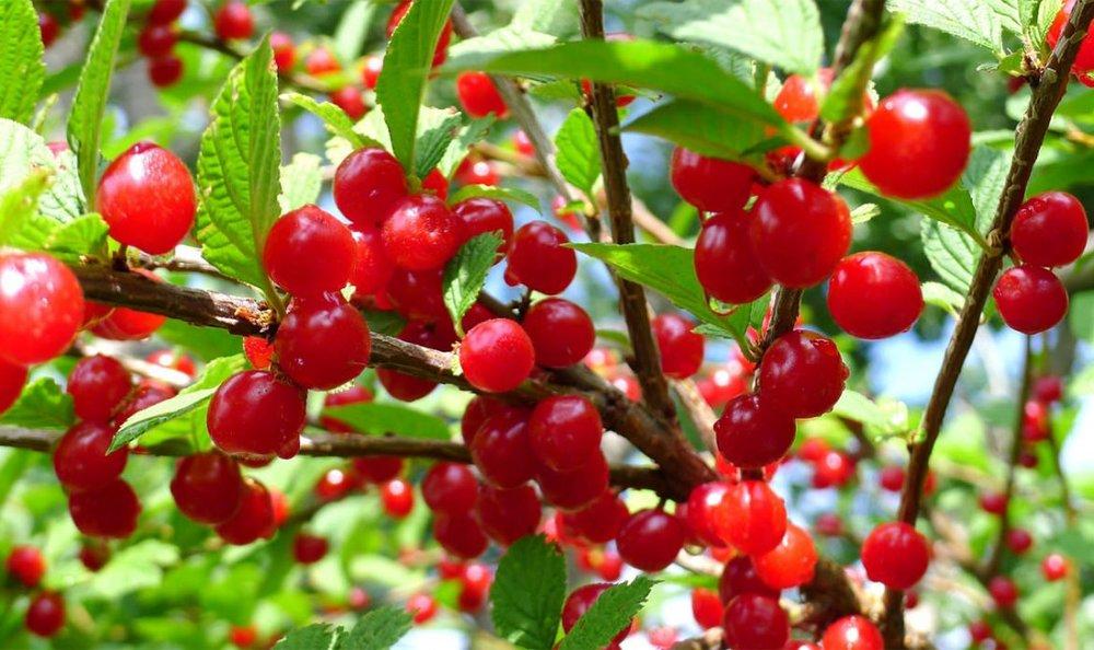 nanking-cherry-1-1080x641.jpg