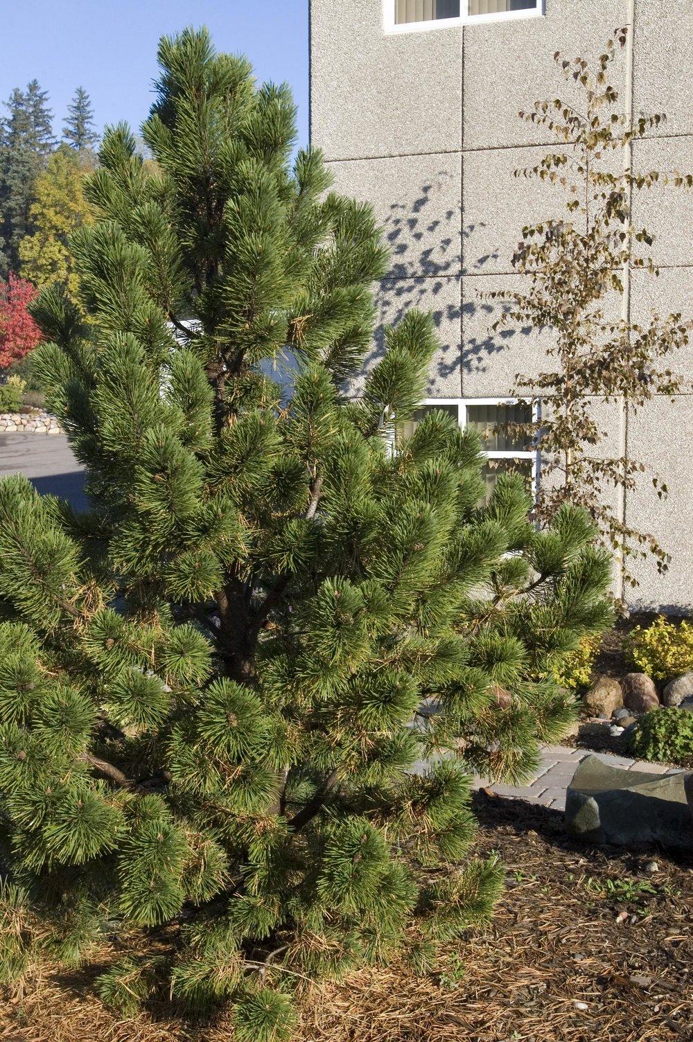 5273-2_PinusmugoTannenbaumPine.jpg.jpg