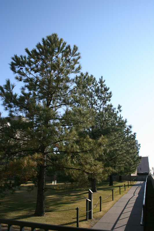 Ponderosa Pine (Pinus ponderosa)15992_C233-0222080js.jpg