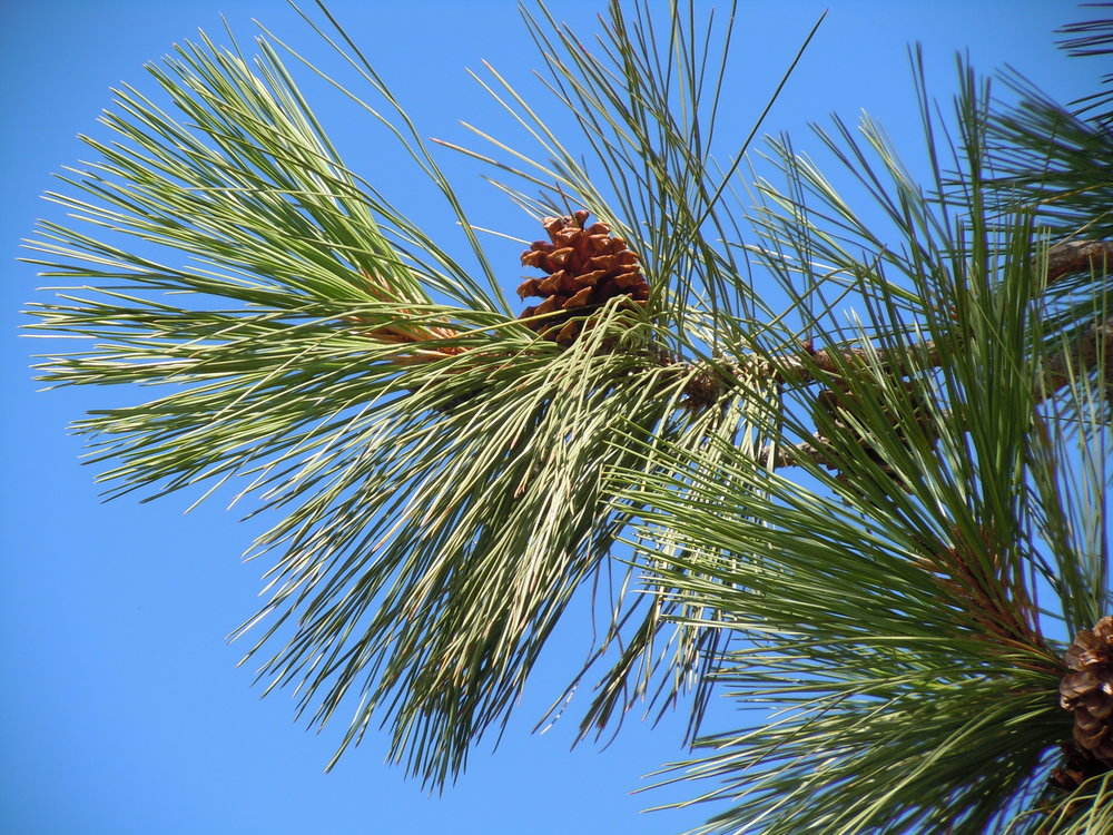 Pinus_ponderosa_var._ponderosa_002_—_Matt_Lavin.jpg