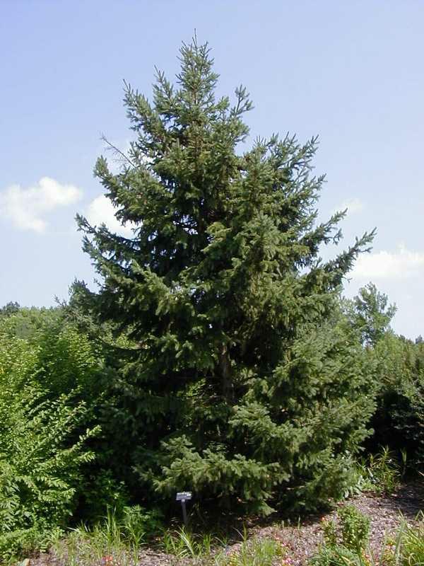 Black Hills Spruce (Picea glauca 'Densata')9007_C224-0628052cs.jpg