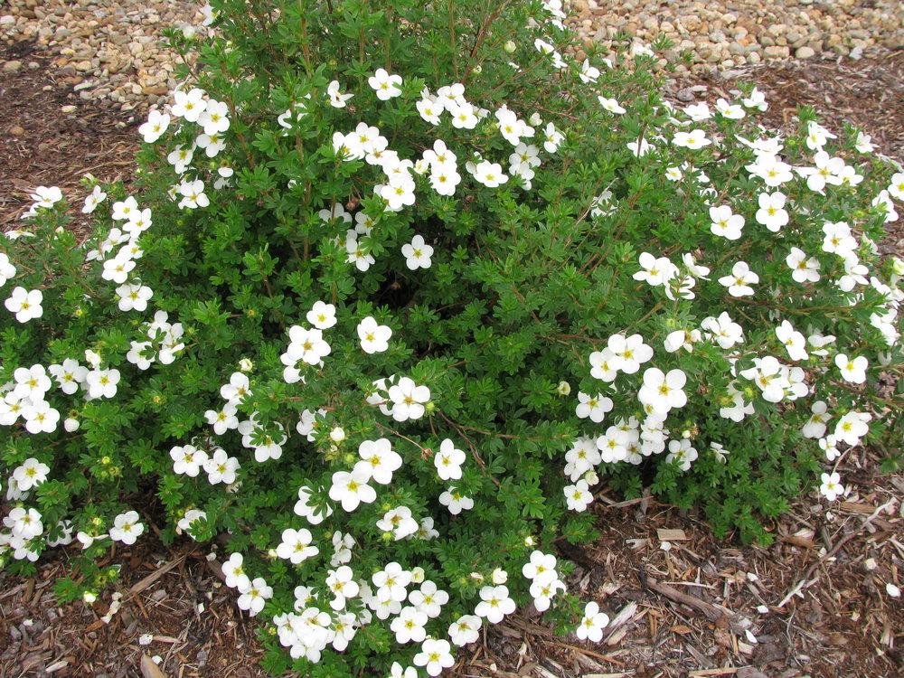 Potentilla-fruticosa McKays White.jpg
