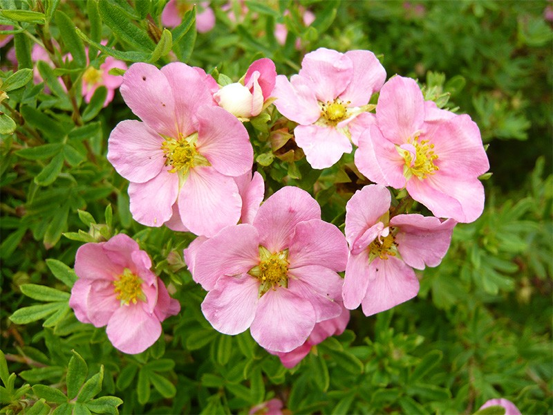 potentilla_pink_beauty.jpg