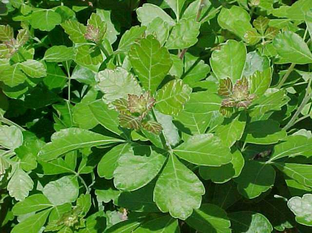Gro-Low Sumac (Rhus aromatica 'Gro-Low')2304_F180-0901022.jpg