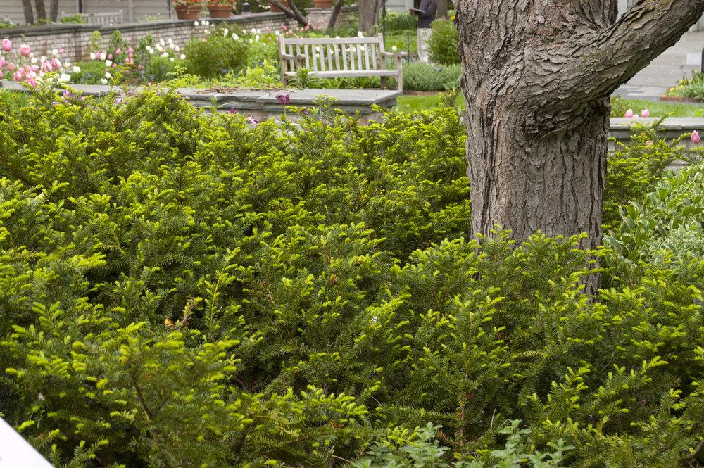 Evergreen_Yew-Taunton-Spreading-3.jpg
