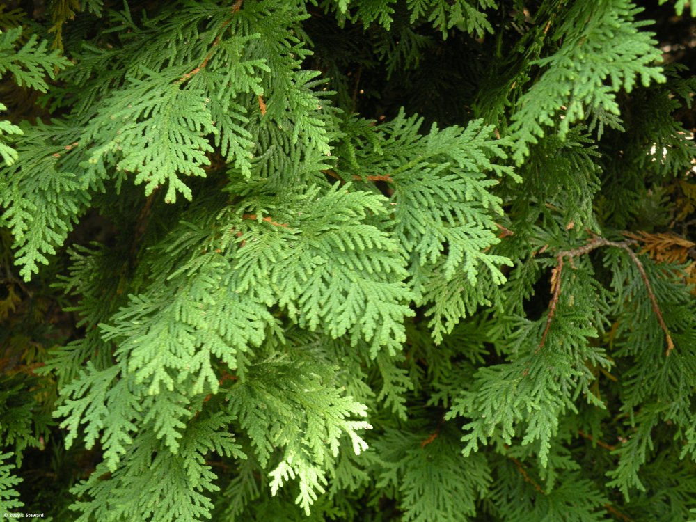 Thuja occidentalis foliage-2.jpg
