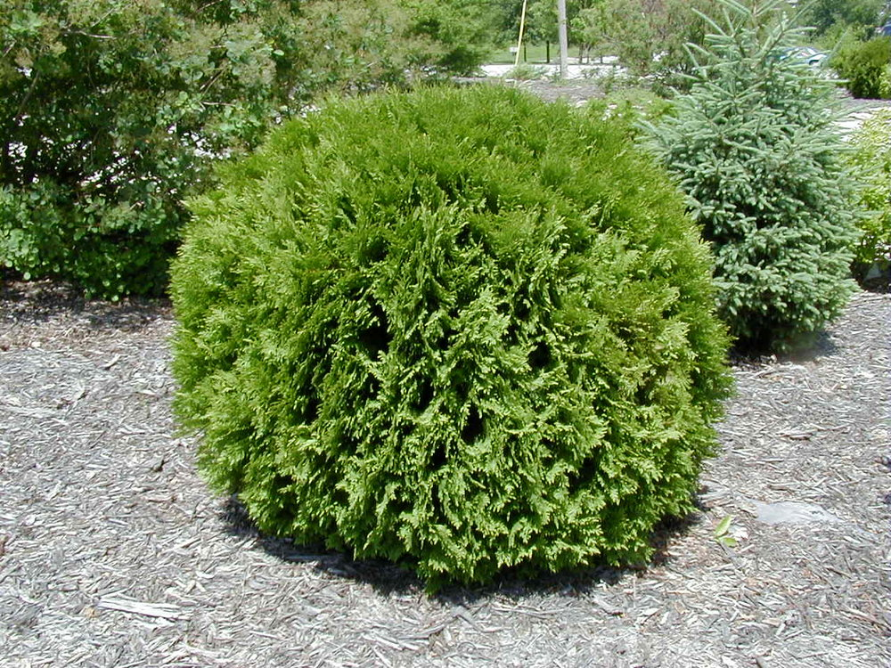 Thuja occidentalis Woodwardii (Woodward Globe).JPG