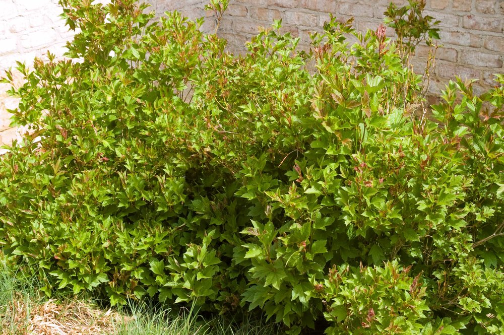 0846-3_VibopulusCompactEuropeanCranberrybush.jpg.jpg