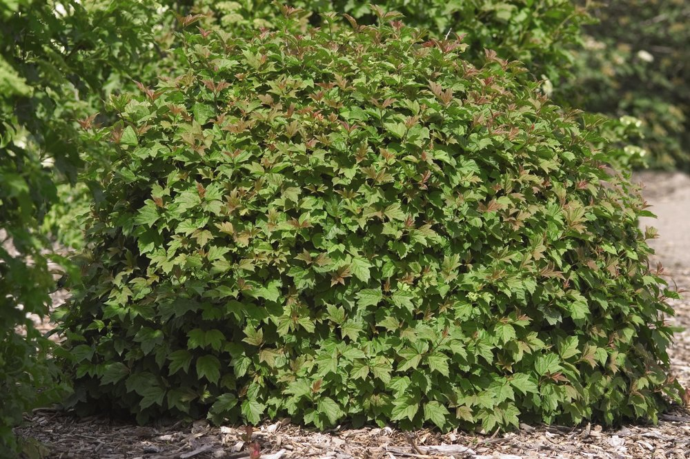 0847-2_VibopulusNanumDwarfEuropeanCranberrybush.jpg.jpg