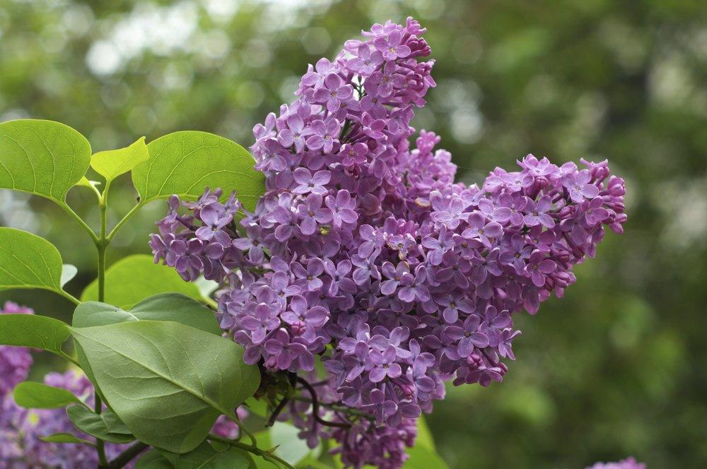 lilac-bush1.jpg