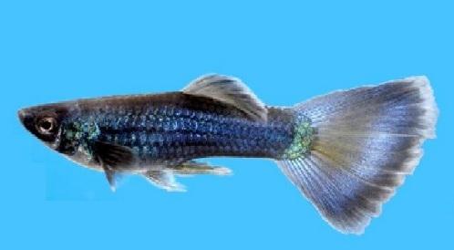 blue delta guppy.jpg