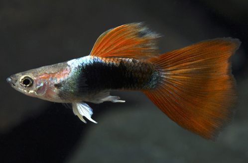 Red Tuxedo Guppy.png