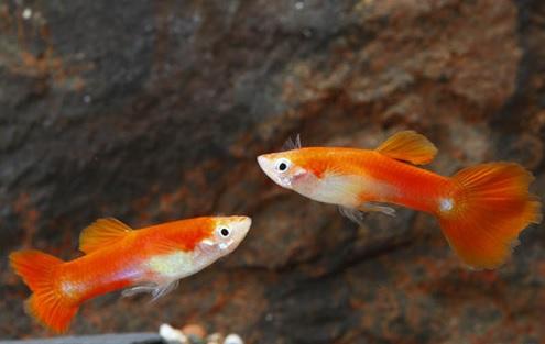 RedBlondeGuppy(Male).jpg