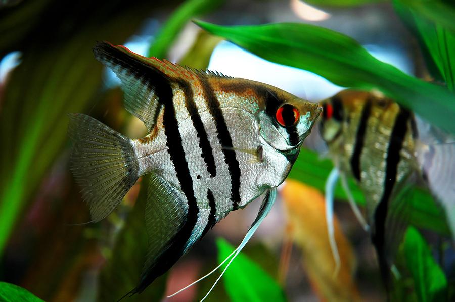 Silver Zebra Angelfish.jpg