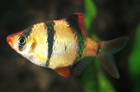 Tiger Barb.png