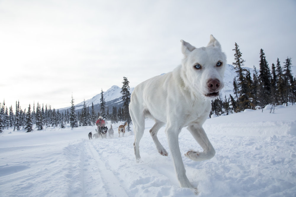 Yukon Quest veteran and retired dog Maude follows when she wants.
