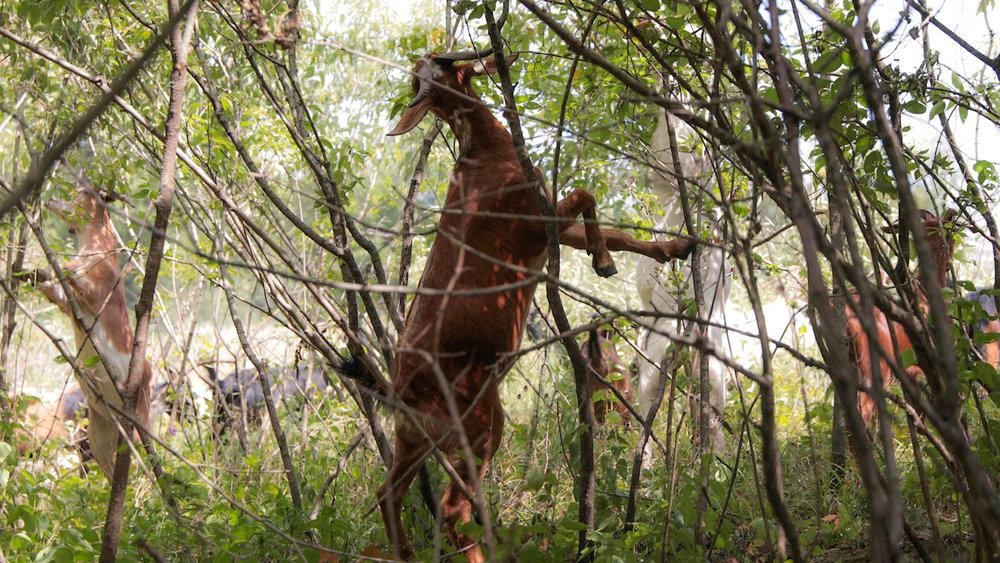 Goats Crowdfunding.00_02_22_08.Still036.jpg