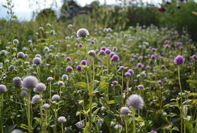 So, uh....who wants some gomphrena this week?