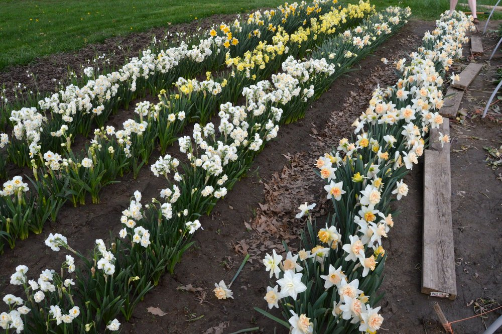 A look at the daffodil collection, which we more-than-doubled this year. Farmers: remember to straw mulch your rows before bloom to protect petals from mud (a hard learned lesson)