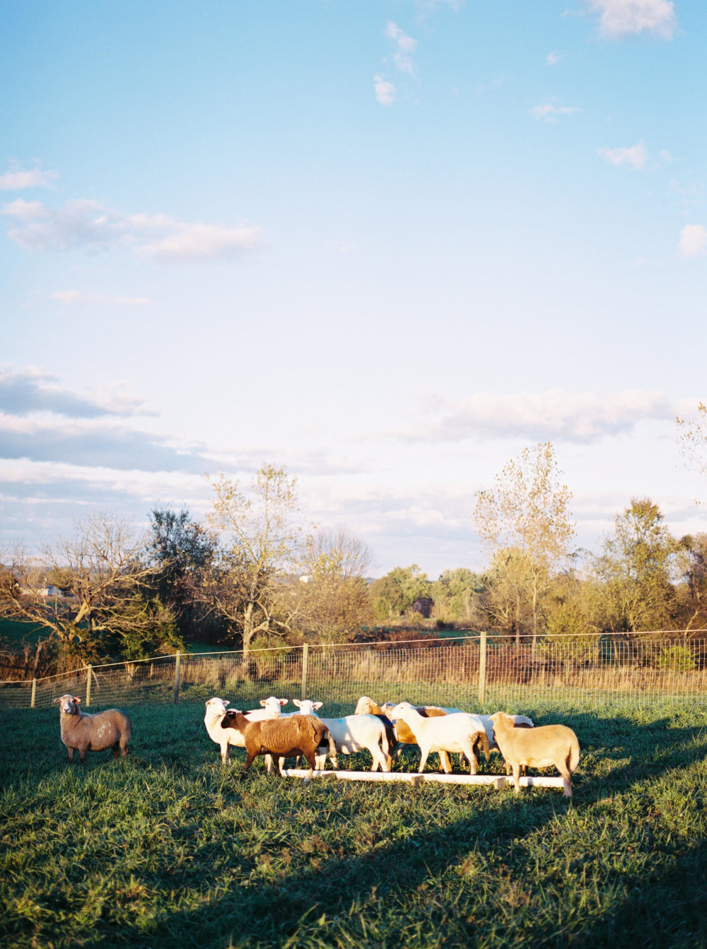 Ewes in the evening at the feeder. Photo by  Henry Photography