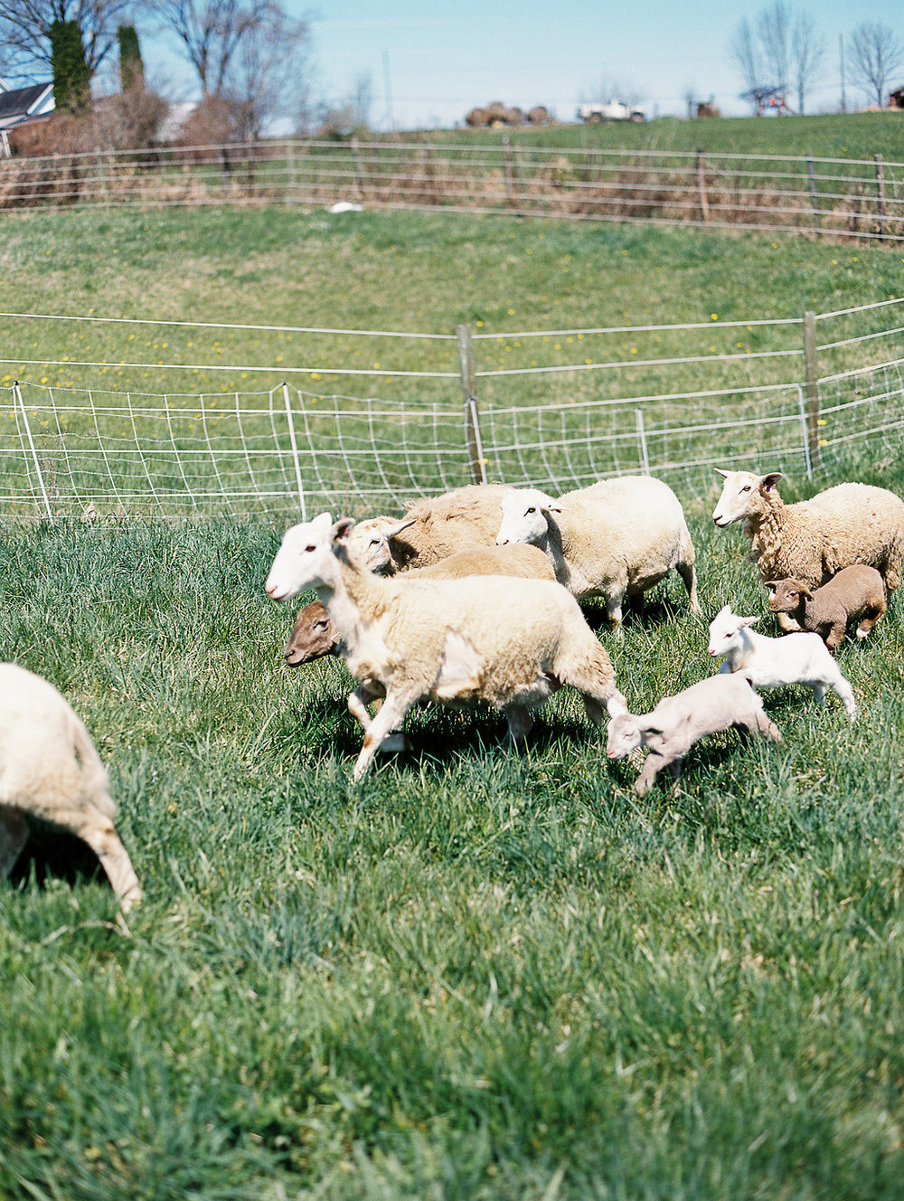 Ewes and lambs running in the back 40. Photo by  Jenny Haas .