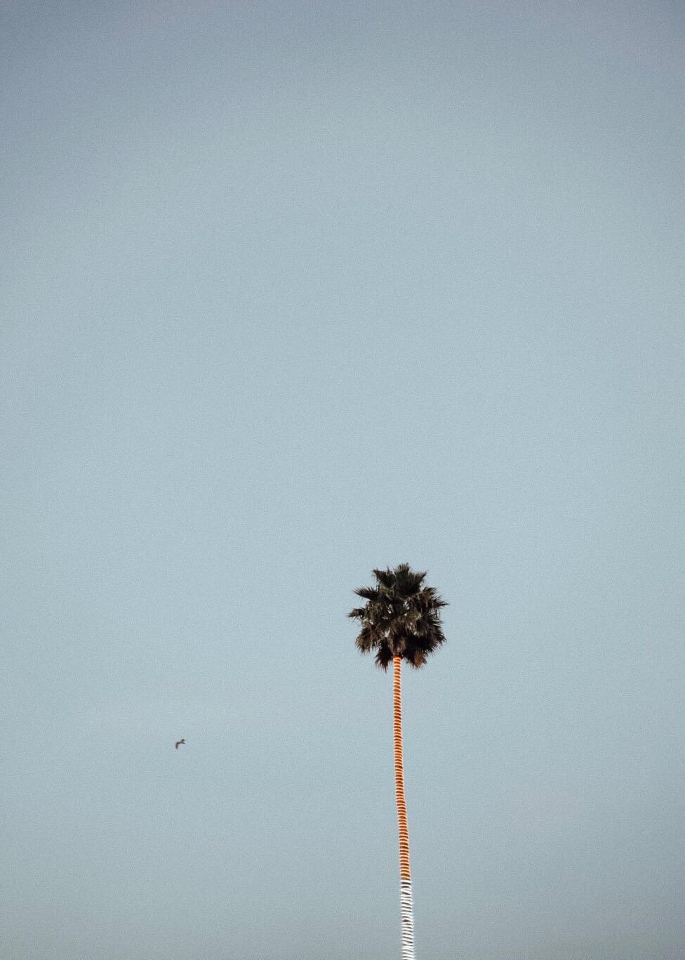 PALM_TREE_SANTA_CRUZ_CALIFORNIA
