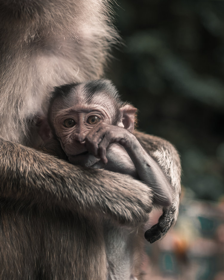 Kuala_Lumpur_Malaysia_Monkey.jpg