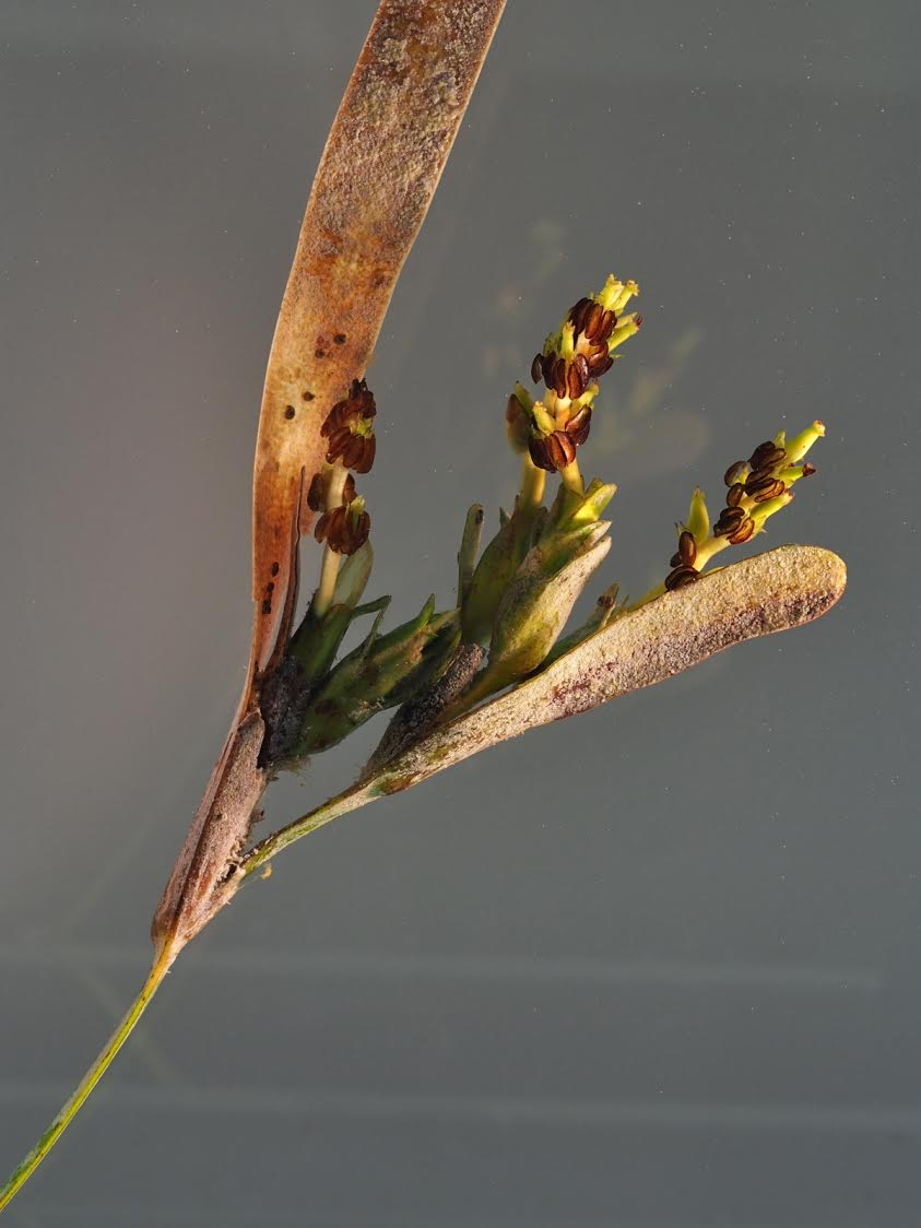 Fig 1.  Flowers of  Posidonia australis  (Photo Angela Rossen)