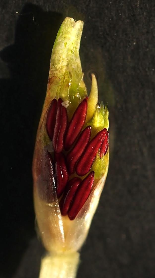 Fig 2.  Immature anthers of of  Posidonia australis   (Photo Angela Rossen)