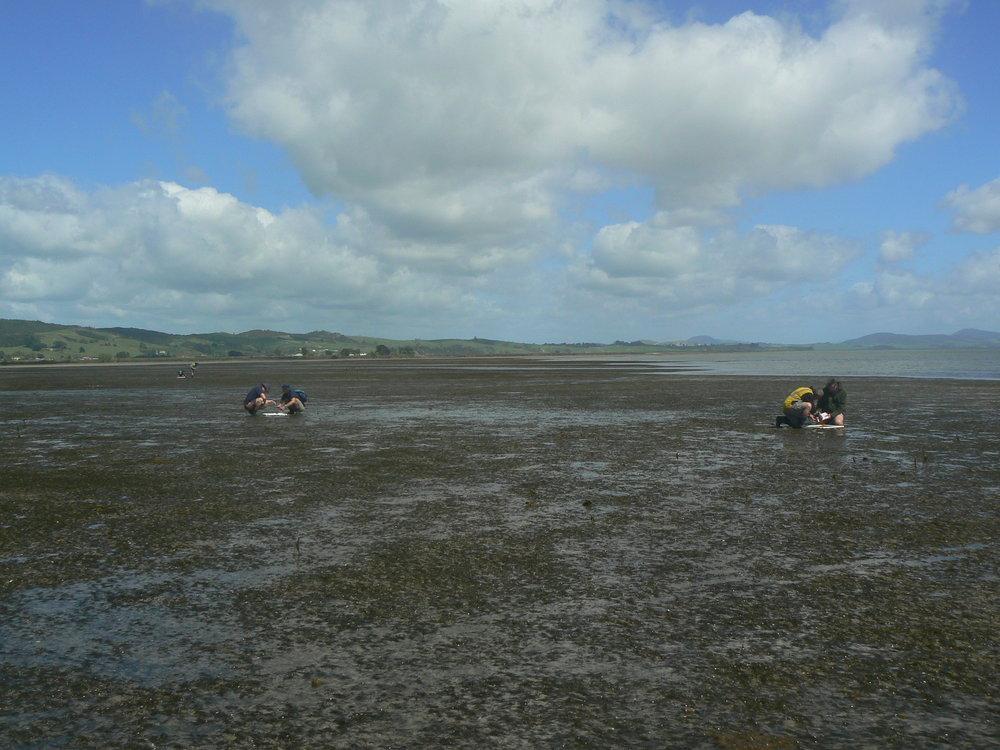 Photo 3  Local volunteers monitoring seagrass recovery at the One Tree Point donor site, Whangarei Harbour, in October 2009 (Photo: Fleur Matheson).