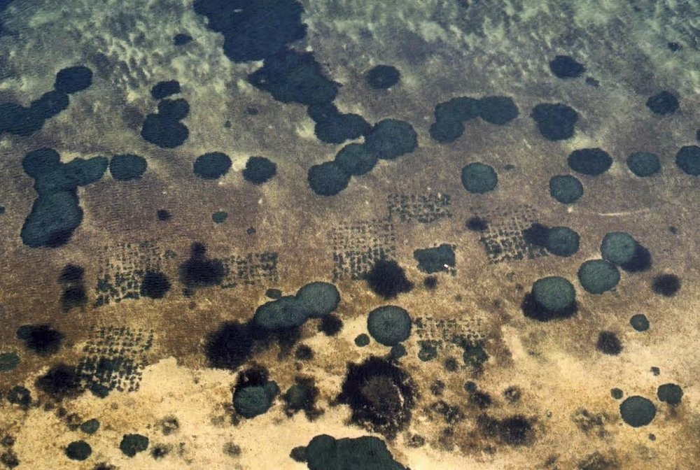 Aerial photograph   (October 2001)  showing details of the  Posidonia  seagrass transplant plots in Oyster Harbour, Albany, after 3.6 years growth.  Transplant plots were 10 x 10m and approximately 10m apart. Individual transplant units were planted 1m apart. The regular circles are seagrass approx. 12 years old that grew back from remnants of the original meadow.
