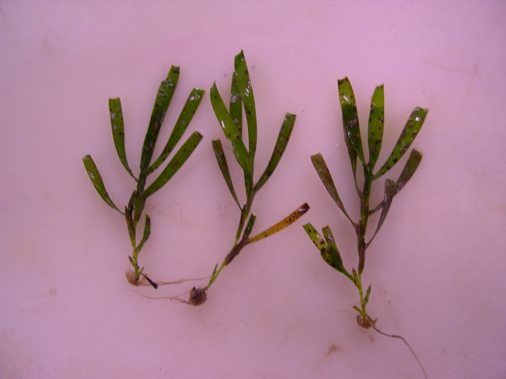 Amphibolis seedlings