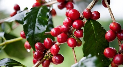 Coffee beans for Italian espresso machines