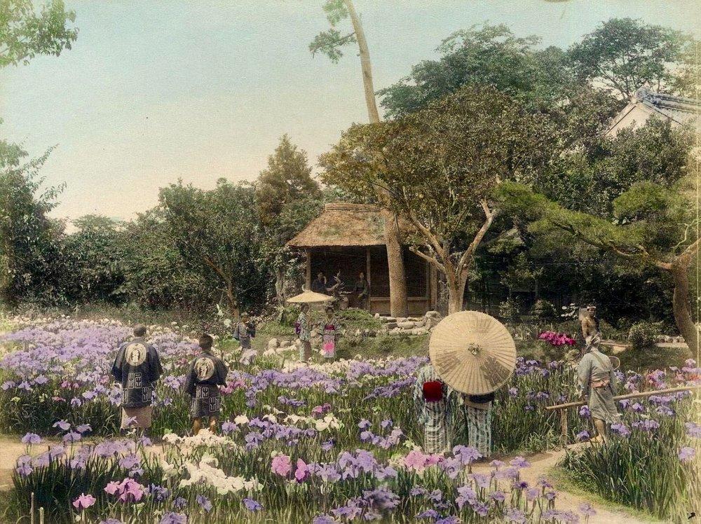 Jardin aux iris, par Adolfo Farsari.