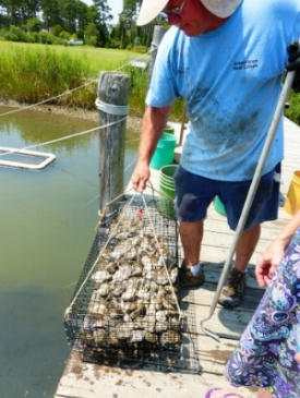 Oyster Farmer in Virginia