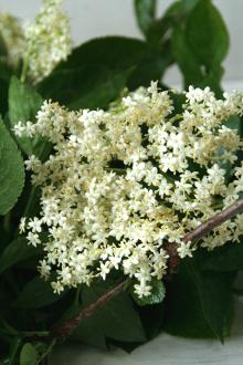 elderflower1_rs.JPG