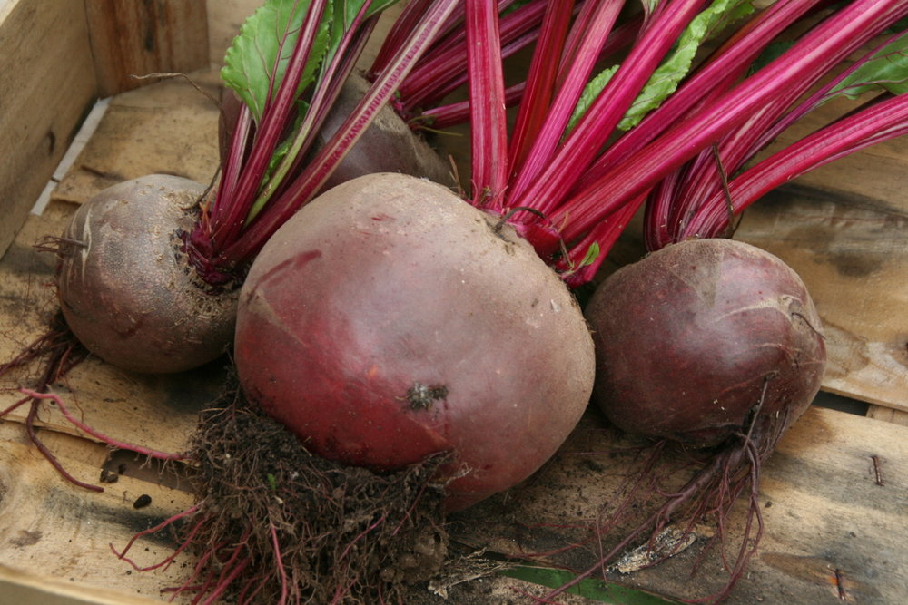 beetroot3_rs.JPG