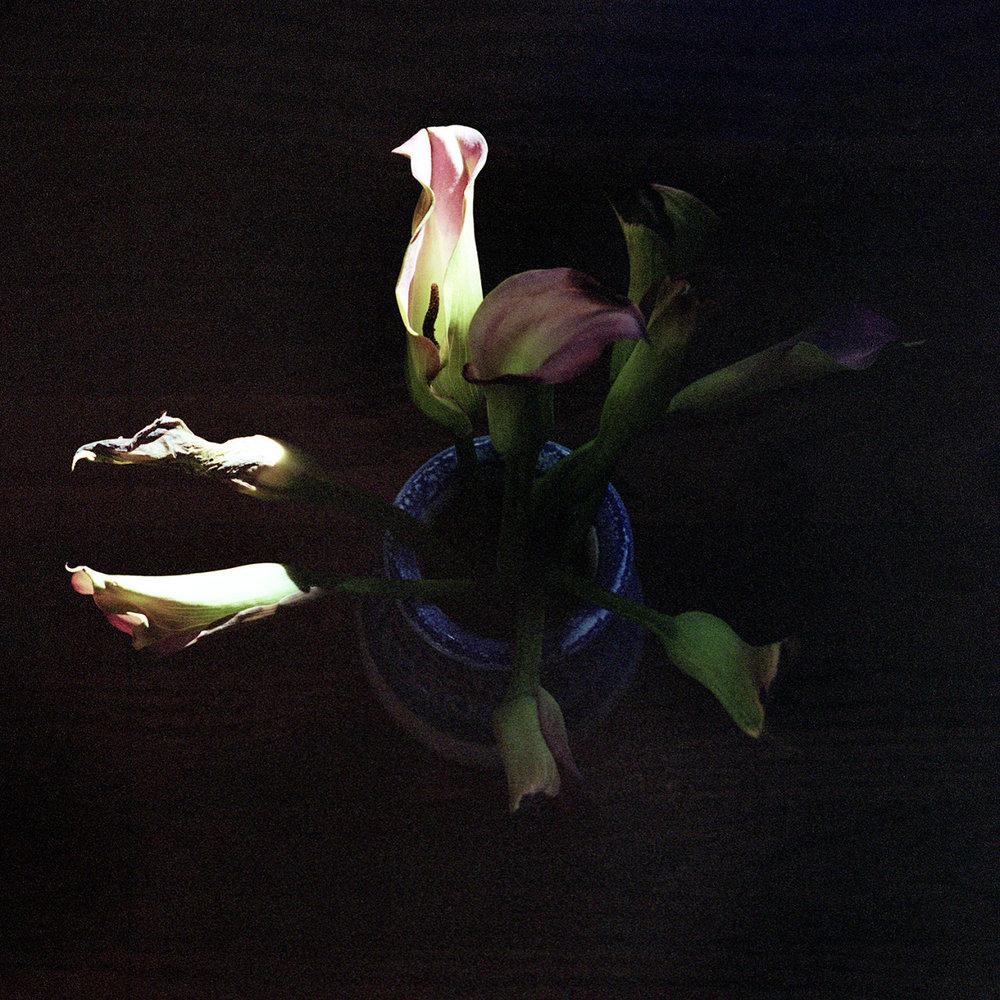 california lilies, December 2015