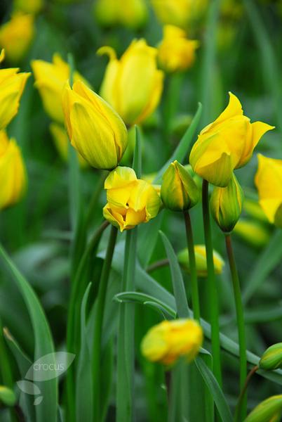 Yellow Tulips .jpg