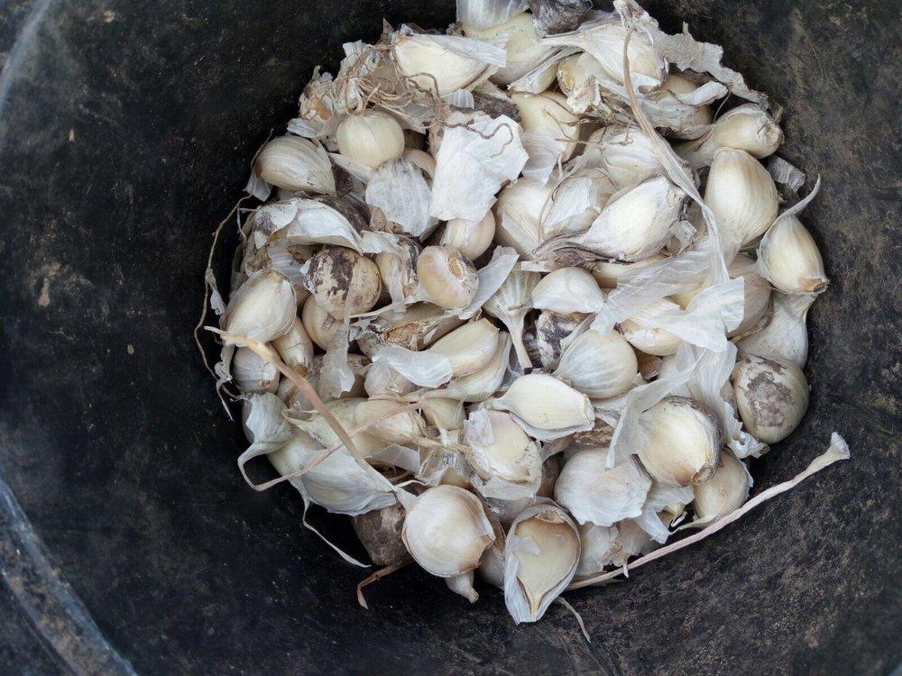 Garlic Planting 3.JPG
