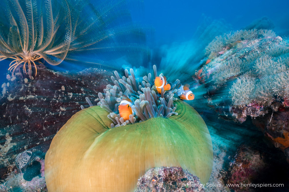 Clownfish_Zoomburst.jpg