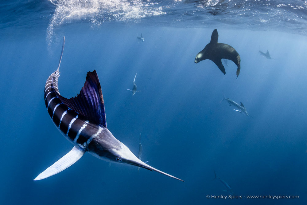 Striped marlin and a sea lion competing for food in the open ocean.
