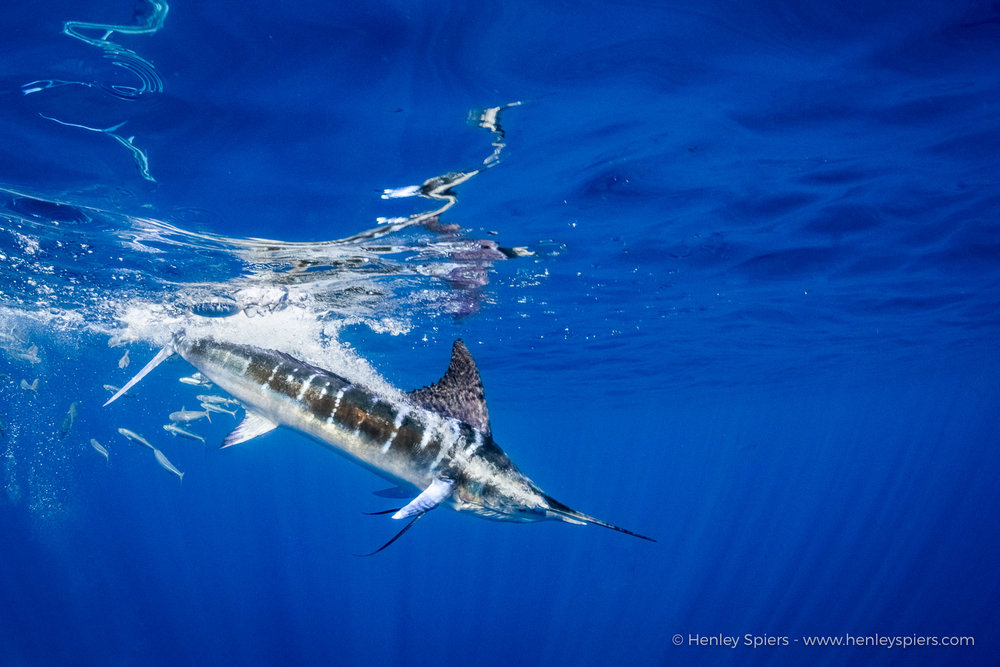 Marlin_Dive.jpg