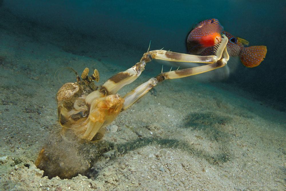 mantis_shrimp_feeding