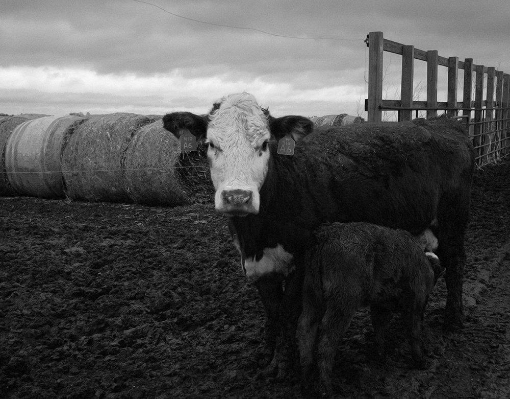 Cow - larissa paxton.jpg